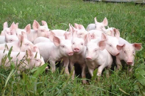 Chăn nuôi trên địa bàn tỉnh tại thời điểm 01/10//2015 tăng so với cùng kỳ