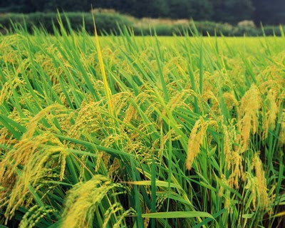 Năm 2015 Tiền Giang đạt trên 1,3 triệu tấn lương thực có hạt